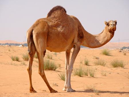 Patas de camellos - Imagui